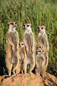 Meerkat / Suricate family group (Suricatta suricata) standing alert together, Kalahari Meerkat Project, Van Zylsrus, Northern Cape, South Africa - Ann & Steve Toon