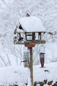Mixed flock of House sparrows (Passer domesticus) and Chaffinchs (Fringilla coelebs) on bird table after heavy snowfall, UK - Ann & Steve Toon