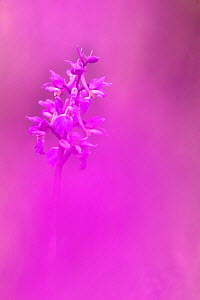 Early Purple Orchid (Orchis mascula) in flower, Heathwaite, Cumbria, UK  -  Ann & Steve Toon