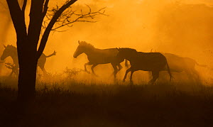 Plains / Common Zebra (Equus quagga / burchelli), galloping through trees, silhouetted at dusk, Serengeti NP, Tanzania, East Africa, January - Staffan Widstrand