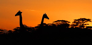 Two Masai Giraffes (Giraffa camelopardalis tippelskirchii) heads silhouetted against sky, above tree line at dusk, Serengeti NP, Tanzania, East Africa, January  -  Staffan Widstrand