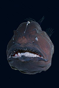 Live deep-sea anglerfish /  black seadevil (Diceratias pileatus) captive, showing bioluminescent lure and razor sharp teeth, specimen brought up from a depth of 3,300 feet (1000m) in a water intake pi...  -  Doug Perrine