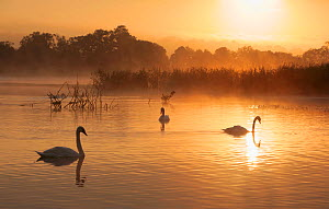 Adult non-breeding Mute Swans (Cygnus olor) at sunrise over freshwater lake (once an old site for commercial peat extraction) near Westhay, Somerset Levels, part of the Avalon Marshes system of nature... - John Waters
