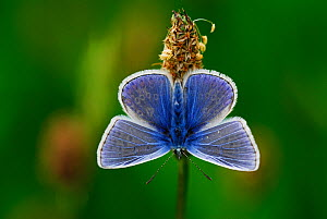 Common blue butterfly (Polyommatus icarus) at rest. Dorset, UK, May  -  Colin Varndell