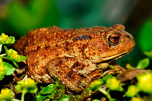Adult male Common toad (Bufo bufo), Dorset, UK, April  -  Colin Varndell