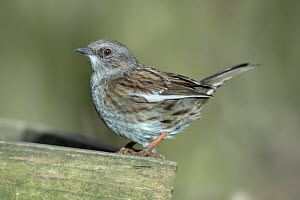 Dunnock (Prunella modularis) showing white pigment on primary feathers, Dorset, UK, March  -  Colin Varndell