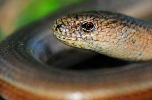 Slow worm (Anguis fragilis) Powerstock Common, Dorset, April  -  Colin Varndell