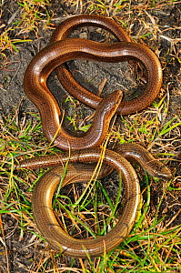 Two Slow worms (Anguis fragilis) Powerstock Common, Dorset, April  -  Colin Varndell