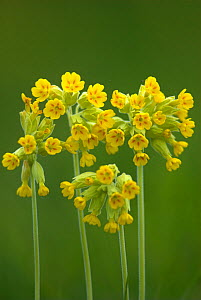 Cowslip (Primula veris) in bloom, Dorset, UK, May  -  Colin Varndell