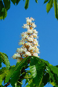 Candelabra of Horse Chestnut flowers (Aesculus hippocastanum) South London, England, UK - Russell Cooper