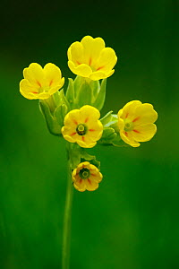 Cowslip (Primula veris) in flower, North Downs, Surrey, England, UK  -  Russell Cooper