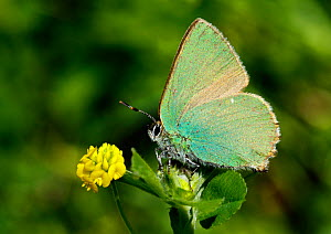 Green Hairstreak Butterfly (Callophrys rubi) at rest  on Black Medick (Medicago lupulina) Surrey, England, UK  -  Russell Cooper