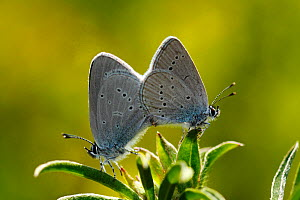 Mating pair of Small Blue Butterflies (Cupido minimus) on plant stem, Surrey, England, UK  -  Russell Cooper
