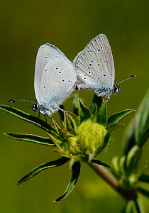 Mating pair of Small Blue Butterflies (Cupido minimus) resting on the flower head of the caterpillar food plant Kidney Vetch (Anthyllis vulneraria) Surrey, England, UK  -  Russell Cooper