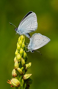 Mating pair of Small Blue Butterflies (Cupido minimus) on Man orchid (Aceras anthropophorum) flower spike, Surrey, England, UK  -  Russell Cooper