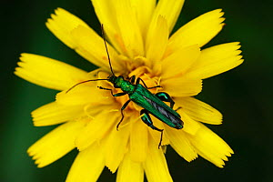 Male Pollen / Flower Beetle (Oedemera nobilis) on flowering foodplant, Morden, South London, London,   UK - Russell Cooper