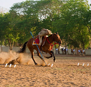 A traditionally dressed officer from the Ahmedabad Police, gallops on a bay Thoroughbred horse (Equus caballus) during a tent-pegging competition, Ahmedabad Police Station, Ahmeedabad, Gujarat, India. - Kristel Richard