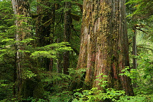 Trunk of a Western red cedar tree (Thuja plicata) and Western hemlock trees (Tsuga heterophylla) in temperate rainforest, Upper Incomappleux Valley, British Columbia, Canada.  The upper Incomappleux...  -  Alan Watson