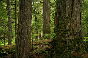 Trunks of Western hemlock trees (Tsuga heterophylla) in temperate rainforest in the upper Incomappleux Valley, British Columbia, Canada.  The upper Incomappleux valley contains the largest surviving...  -  Alan Watson