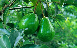 Avocado fruits on the tree (Persea americana).  -  Visuals Unlimited