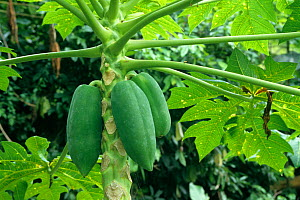 Papaya Plant from the Island of Tobago in the West Indies  -  Visuals Unlimited