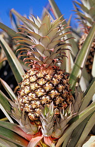 Large Pineapples among leaves, Puerto Rico.  -  Visuals Unlimited