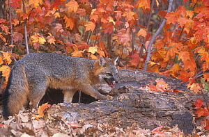 A Gray Fox (Urocyon cinereoargenteus) is a tree climber.  -  Visuals Unlimited
