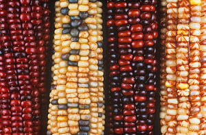 Variation in Indian corn due to the presence of genetic elements called transposons by Barabara McClintock.  -  Visuals Unlimited