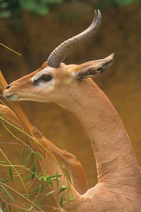 Close-up of a male Gerenuk standing on its hind legs feeding (Litocranius walleri) East Africa.  -  Visuals Unlimited