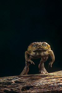 Giant Marine Toad jumping. (Bufo marinus) Central and South America - Visuals Unlimited
