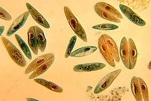 (Paramecium caudatum) Ciliate Protozoa in conjugation. LM X44.  -  Visuals Unlimited