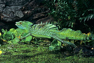 A Plumed Basilisk (Basiliscus plumifrons) running on water.  -  Visuals Unlimited