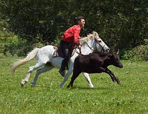 A Gardian (Traditional French cowboy) riding a Camargue gelding catches a Camargue bull by its tail, Camargue, Provence, France. June 2008  -  Kristel Richard
