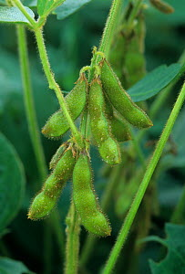 Soybeans on the plant - Visuals Unlimited