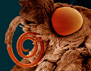 Compound eye and coiled proboscis of a moth (Pyralidae). Compound eyes are made up of large numbers of individual facets. The proboscis is used as a sucking and feeding organ. SEM X21  -  Visuals Unlimited