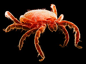 The Deer Tick (Ixodes dammini) is the vector of Lyme Disease. SEM X20  -  Visuals Unlimited