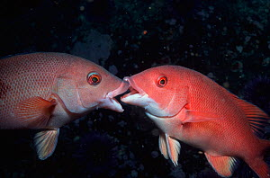 Juvenile female Sheepheads in territory dispute (Semicossyphus pulcher), Baja California, Mexico.  -  Visuals Unlimited
