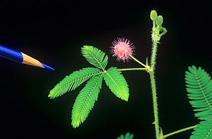 Turgor movement in a Sensitive Plant (Mimosa pudica) leaves open and untouched, sequence 1/2 - Visuals Unlimited