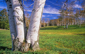 Grove of Paper or White Birch Trees (Betula papyrifera) Woodstock, Vermont, USA.  -  Visuals Unlimited