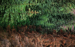 Spruce Bark Beetle infestation in a Spruce forest (Picea sp) Sitka, Alaska, USA. - Visuals Unlimited