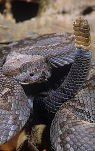 Black-Tailed Rattlesnake (Crotalus m. molossus) Western Texas - Visuals Unlimited