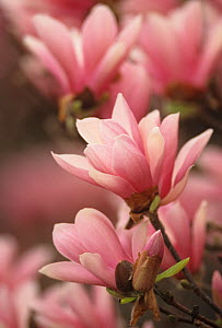 Magnolia Tree Blossoms in early spring, USA. - Visuals Unlimited
