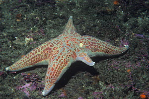 Leather Star (Dermasterias imbricata) regenerating an arm.  -  Visuals Unlimited