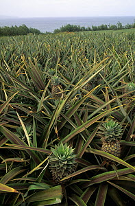 Pineapple field of commercially grown pineapples, Maui, Hawaii.  -  Visuals Unlimited