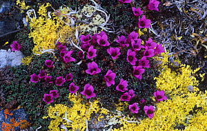 Purple Mountain Saxifrage (Saxifraga oppositifolia) among yellow lichens in the tundra of the Arctic National Wildlife Refuge, Alaska, USA.  -  Visuals Unlimited