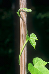 Twining stem of a Morning Glory plant, an example of thigmotropism (Ipomoea purpurea). - Visuals Unlimited