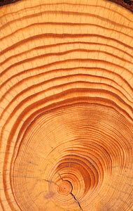 Tree rings of 58-year old Red Pine (Pinus resinosa), North America. Note the center trunk showing years of minimal growth and the outer trunk showing faster growth, perhaps due to weather conditions o...  -  Visuals Unlimited