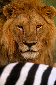 African Lion (Panthera leo) male behind a Zebra kill, East Africa. - Visuals Unlimited