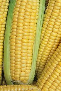Sweet corn, Northern Extrasweet Variety, (Zea mays)  -  Visuals Unlimited