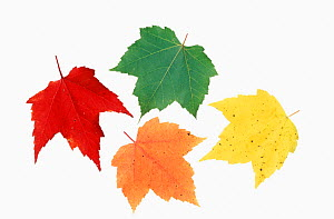 Plant pigments in Red Maple leaves (Acer rubrum), including chlorophyll, carotenoids, xanthophylls, and anthocyanins, North America.  -  Visuals Unlimited